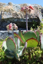 Cotyledon orbiculata, commonly known as pig's ear or round-leafed navel-wort - Cape Point, South Africa