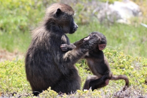 Bärenpaviane - Chacma baboons (Papio ursinus), also known as the Cape baboon - Cape Point, South Africa