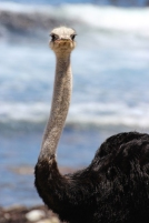 Male Ostrich or common ostrich (Struthio camelus) - Strauss - Cape of Good Hope, South Africa