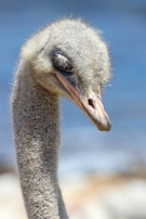Ostrich or common ostrich (Struthio camelus) - Strauss - Cape of Good Hope, South Africa