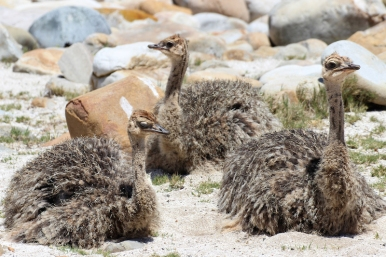 Ostrich or common ostrich chicks (Struthio camelus) - Strauss - Cape of Good Hope, South Africa
