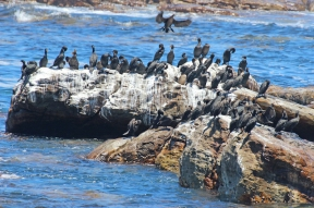 Cape cormorants or Cape shags (Phalacrocorax capensis) - Cape of Good Hope, South Africa