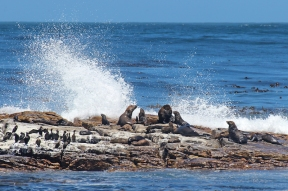 Brown fur seals (Arctocephalus pusillus), also known as Cape fur seal, South African fur seal - Cape of Good Hope, South Africa