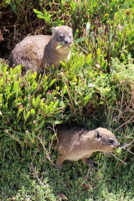 Rock hyrax (Procavia capensis) or rock badger, also called the Cape hyrax and commonly referred to in South African English as the dassie, photographed at Betty's Bay Penguin Nature Reserve at Stony Beach