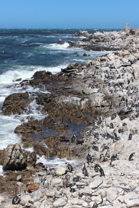 Brillenpinguin - African penguin (Spheniscus demersus), also known as the jackass penguin and black-footed penguin at Betty's Bay Penguin Nature Reserve, South Africa