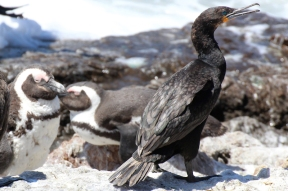Kapscharbe - Cape cormorant or Cape shag (Phalacrocorax capensis) at Betty's Bay Penguin Nature Reserve, South Africa