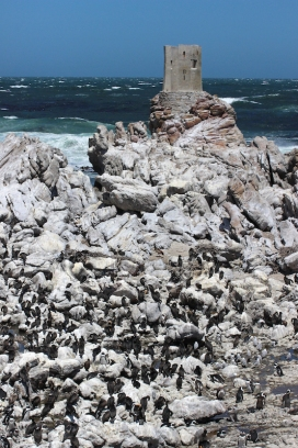 Kapscharbe - Colony of Cape cormorants (Phalacrocorax capensis) at Betty's Bay Penguin Nature Reserve, South Africa