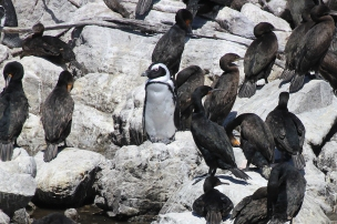 African Penguin amongst Cape cormorants at Betty's Bay Penguin Nature Reserve, South Africa