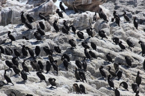 Colony of Cape cormorants at Betty's Bay Penguin Nature Reserve, South Africa