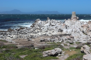 Cape Cormorants and African Penguins at Betty's Bay Penguin Nature Reserve, South Africa