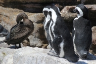 African penguins and cape cormorant at Betty's Bay Penguin Nature Reserve, South Africa