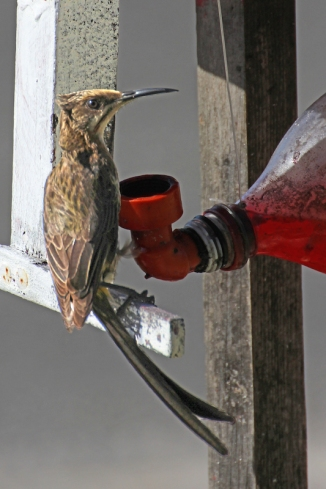 Nektarvogel - female sunbird, Struis Bay, South Africa