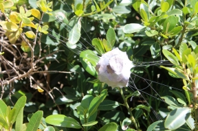 Spider egg sac, probably from Rain Spider (Palystes castaneus) at Cape Agulhas, Western Cape, South Africa
