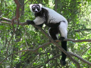 Black-and-white ruffed lemur (Varecia variegata) - Monkeyland - South Africa