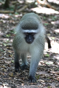 Vervet monkey (Chlorocebus pygerythrus) - Monkeyland - South Africa