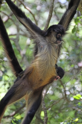 White-bellied spider monkey (Ateles belzebuth) - Monkeyland - South Africa
