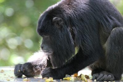Mantled howler (Alouatta palliata) - Monkeyland - South Africa