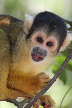 Black-capped squirrel monkey (Saimiri boliviensis) - Monkeyland - South Africa