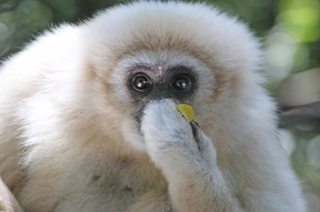 Lar gibbon (Hylobates lar), also known as white-handed gibbon - Monkeyland - South Africa