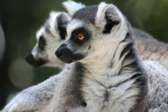 Ring-tailed lemur (Lemur catta) - Monkeyland - South Africa