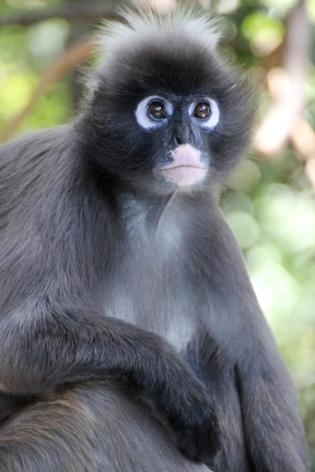Dusky leaf monkey (Trachypithecus obscurus) - Monkeyland - South Africa