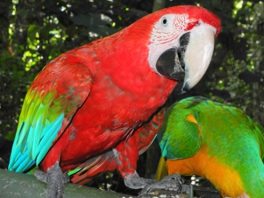 Green-winged macaw (Ara chloropterus), also known as the red-and-green macaw - Birds of Eden - South Africa