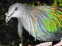 Nicobar pigeon (Caloenas nicobarica) - Birds of Eden - South Africa