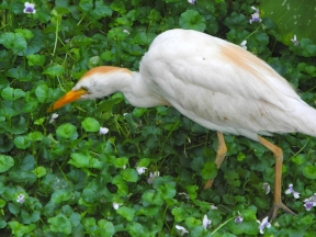 Cattle egret (Bubulcus ibis) - Birds of Eden - South Africa