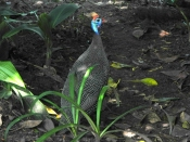 Helmeted guineafowl (Numida meleagris) - Birds of Eden - South Africa