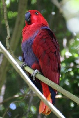 Female eclectus parrot (Eclectus roratus) - Birds of Eden - South Africa
