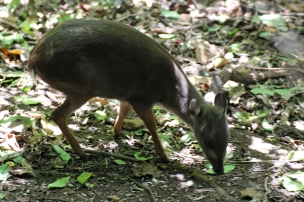 Blue duiker (Philantomba monticola) - Birds of Eden - South Africa