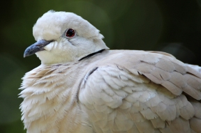 Eurasian collared dove (Streptopelia decaocto) - Birds of Eden - South Africa