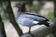 Australian wood duck, maned duck or maned goose (Chenonetta jubata) - Birds of Eden - South Africa