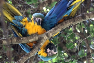 Blue-and-yellow macaw (Ara ararauna) - Birds of Eden - South Africa
