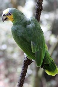 Red-shouldered macaw (Diopsittaca nobilis) - Hahn's macaw - Birds of Eden - South Africa