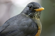 Portrait: Olive thrush (Turdus olivaceus) - Birds of Eden - South Africa