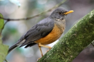 Olive thrush (Turdus olivaceus) - Birds of Eden - South Africa