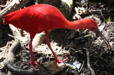 Scarlet ibis (Eudocimus ruber) - Birds of Eden - South Africa