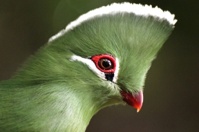 Portrait: Knysna turaco (Tauraco corythaix) - Birds of Eden - South Africa