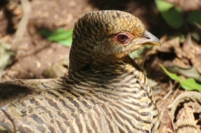 Female golden pheasant or Chinese pheasant (Chrysolophus pictus) - Birds of Eden - South Africa