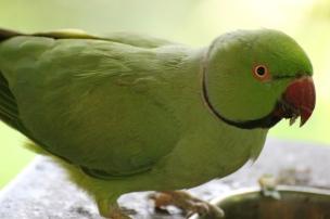 Rose-ringed parakeet (Psittacula krameri) - Birds of Eden - South Africa