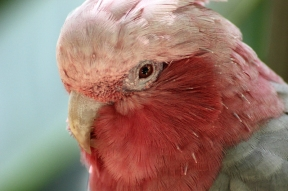 Portrait: Galah (Eolophus roseicapilla), also known as the rose-breasted cockatoo - Birds of Eden - South Africa