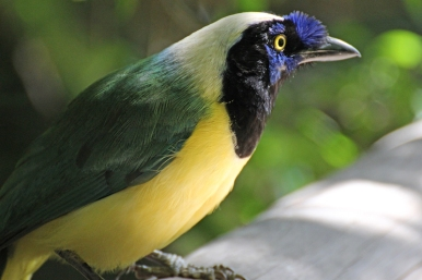 Cyanocorax yncas galeatus (Green Jay/Carriquí) - Birds of Eden - South Africa