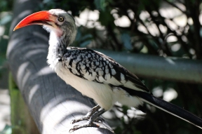 Southern red-billed hornbill (Tockus rufirostris) - Birds of Eden - South Africa