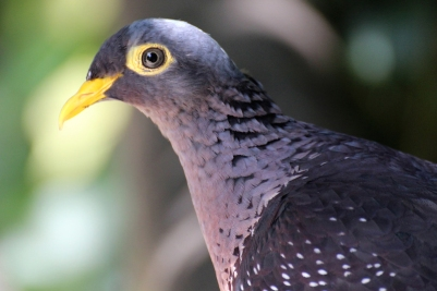 Unknown species (blue pigeon) - Birds of Eden - South Africa