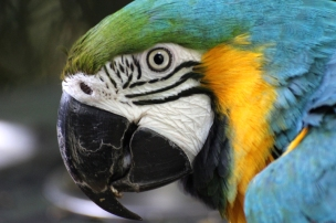 Portrait: Blue-and-yellow macaw (Ara ararauna) - Birds of Eden - South Africa