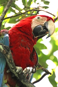 Portrait: Green-winged macaw (Ara chloropterus), also known as the red-and-green macaw - Birds of Eden - South Africa