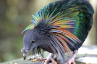 Nicobar pigeon (Caloenas nicobarica) - Birds of Eden - South Africa