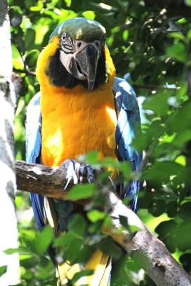 Blue-and-yellow macaw (Ara ararauna) - Birds of Eden - South Africa