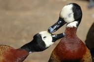 White-faced whistling duck (Dendrocygna viduata) - Birds of Eden - South Africa